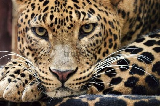 Sri Lanka Leopard Panthera pardus kotiya