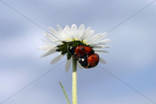 Seven-spotted Lady Beetles Coccinella septempunctata on English daisy, English lawn daisy Bellis perennis, Sidonie, White Carpathian mountains protected landscape area, Bile Karpaty, Moravia, Czec