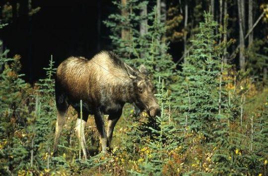 Moose or Elk cow Alces alces, Jasper National Park, Alberta, Canada, North America