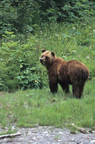 North American Brown Bear Ursus arctos, feeding on grass, Alaska, North America
