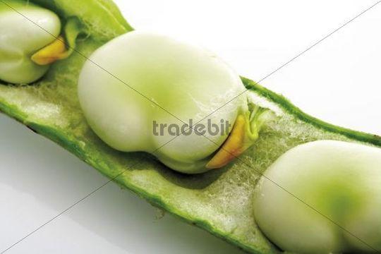 Broad Bean Vicia faba, pod