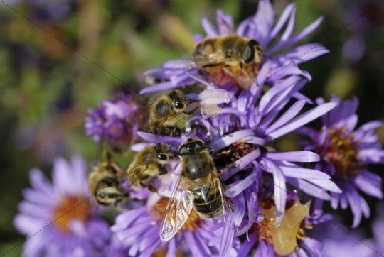 Hoverflies, Episyrphus balteatus and bees Api mellifera on aromatic aster blossom Aster oblongifolius