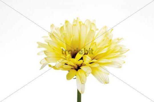 Yellow marigold Calendula