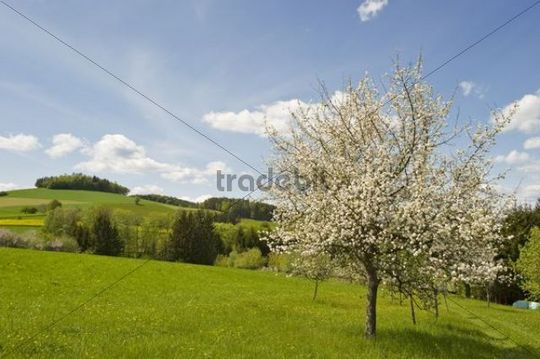 Blossoming apple trees, Bucklige Welt, Lower Austria, Austria, Europe
