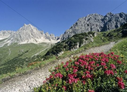 Footpath with alpine rose in the Lechtal Alps, Tirol, Austria, Europe