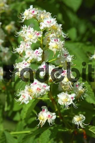 Flowering Horse-chestnut Aesculus hippocastanum