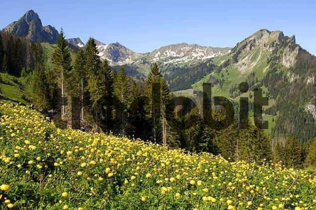 Globeflower Trollius europaeus Spring in the mountains Switzerland
