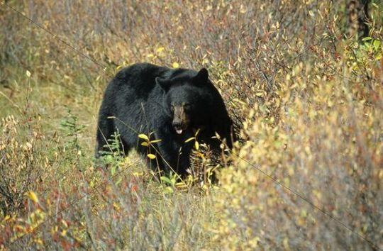 American Black Bear Ursus americanus, Alaska, North America