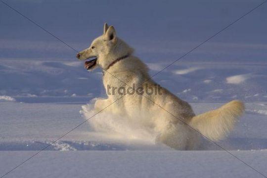 White husky, sled dog, sledge dog, revels in snow, Yukon Territory, Canada, North America