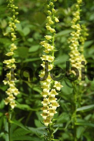Small Yellow Foxgloves Digitalis lutea