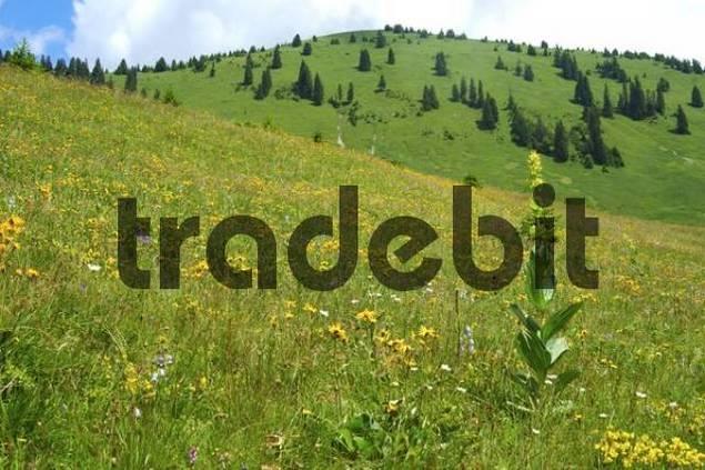 Alpine grassland with Great Yellow Gentian Gentiana lutea