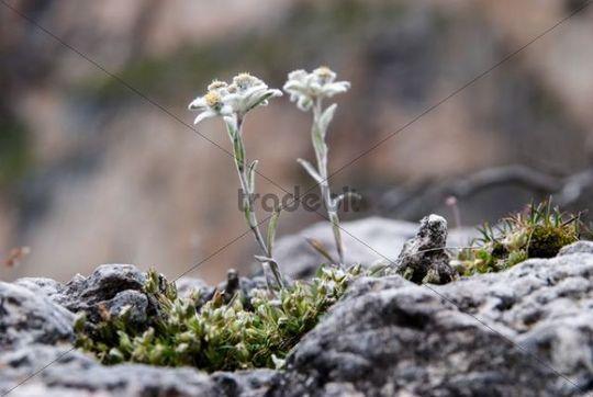 Edelweiss Leontopodium nivale subsp. alpinum on the Seceda High Plateau, Puez-Geisler National Park, Wolkenstein, Alto Adige, Italy, Europe
