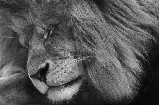 Asiatic Lion Panthera leo persica, male, black-white portrait