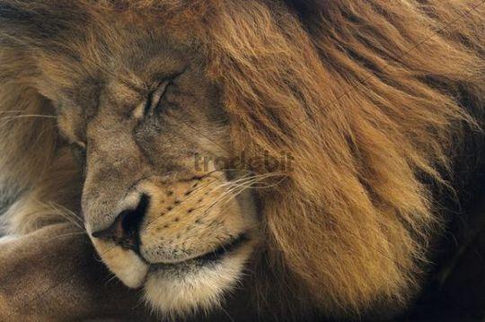 Asiatic Lion Panthera leo persica, male, portrait