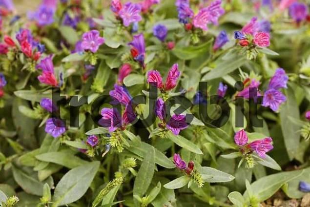 Vipers bugloss  Echium plantagineum  Fuerteventura