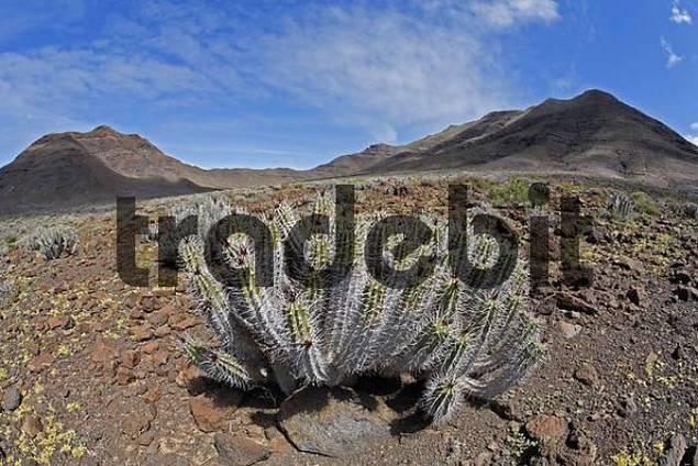 Euphorbia handiensis - endemic plant on Fuerteventura  Jandia