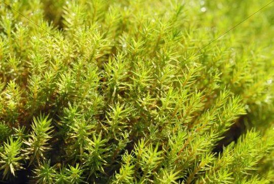 Moss, Urn Haircap Pogonatum urnigerum with dew drops, Nicklheim, Bavaria, Germany, Europe