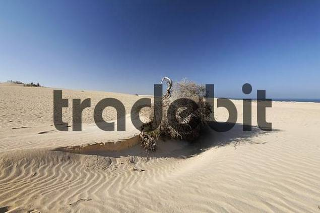 sand blown up uprooted shrub , dunes of Corralejo , Fuerteventura , Canary Islands