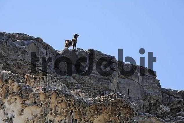 goat on rock - Istmo de la Pared , Playa de Barlovento , Fuerteventura , Canary Islands