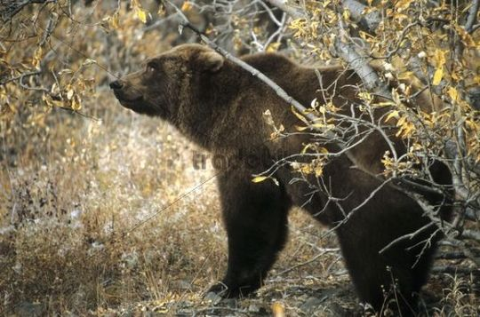 Grizzly Bear Ursus arctos horribilis, Denali National Park, Alaska, North America