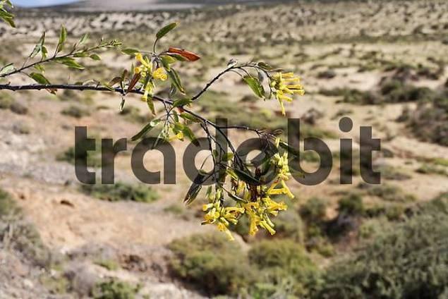 Tobacco flower  Nicotiana glauca  , Fuerteventura , Canary Islands