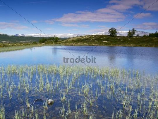 Mountain lake with reeds, Grimsdalen Valley, Dovre National Park, Rondane National Park mountains behind, Norway, Scandinavia, Northern Europe