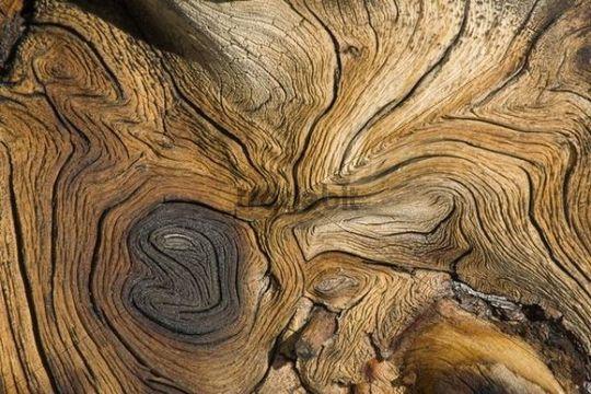 Weather-beaten, weathered wood structure, Alpine Fir stump Abies lasciocarpa, Yukon, Canada, North America