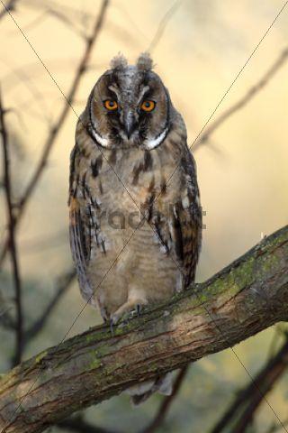 Long-eared Owl (Asio otus), fledgling, juvenile, perched on branch, Apetlon, Lake Neusiedl, Burgenland, Austria, Europe