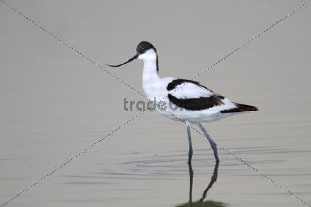 Pied Avocet (Recurvirostra avosetta), standing in shallow water, Apetlon, Lake Neusiedl, Burgenland, Austria, Europe