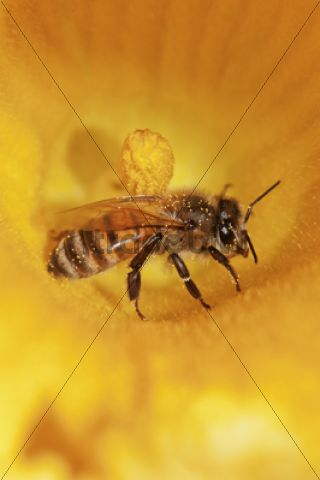 Western honey bee (Apis mellifera) on pumpkin flower, Hokkaido, Japan, Asien
