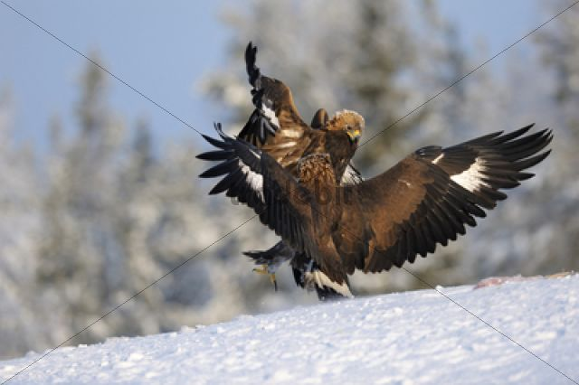 Golden Eagles (Aquila chrysaetos), two eagles competing at a bait place /