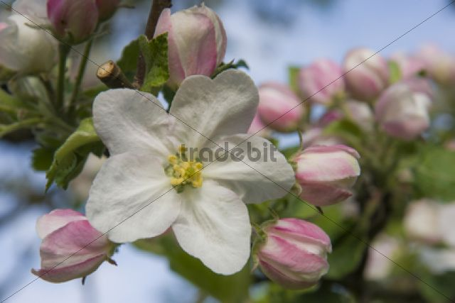 Blossom, Cultivated Apple (Malus domestica, Boskoop) /
