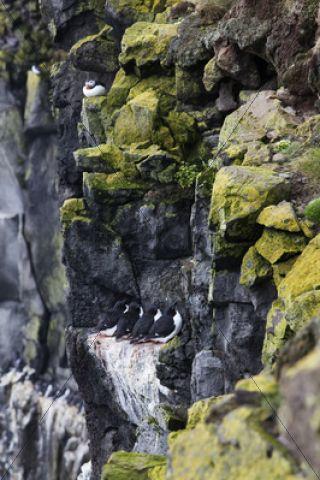 Puffin (Fratercula arctica) and Razorbills (Alca torda), Latrabjarg Peninsula, West Fjords, Iceland, Europe