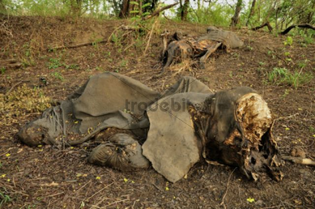 One of the elephants killed by Sudanese poachers on 5 March 2012, Bouba-Ndjida National Park, Cameroon, Central Africa, Africa