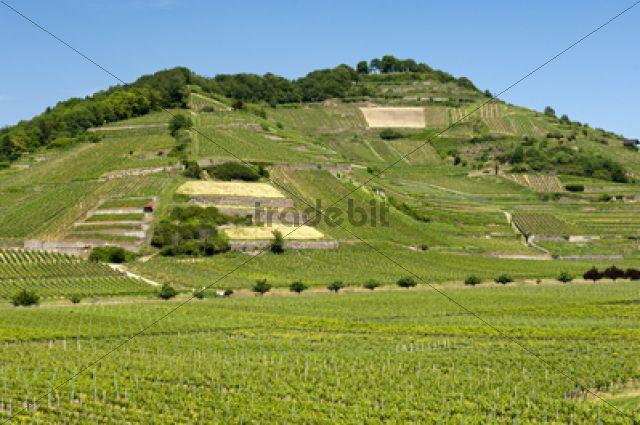 Schlossberg vineyard, Achkarren, district of Vogtsburg in the Kaiserstuhl range, Baden-Wuerttemberg, Germany, Europe