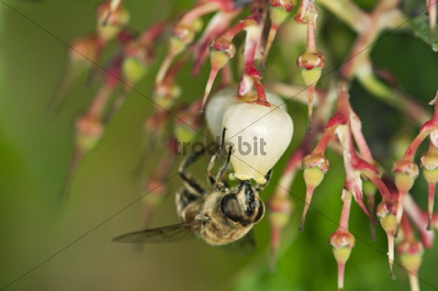Short-tongued Hoverfly (Villa spec.) drinking from a flower of the Western Strawberry Tree (Arbutus unedo) / Europa, Switzerland, Europe
