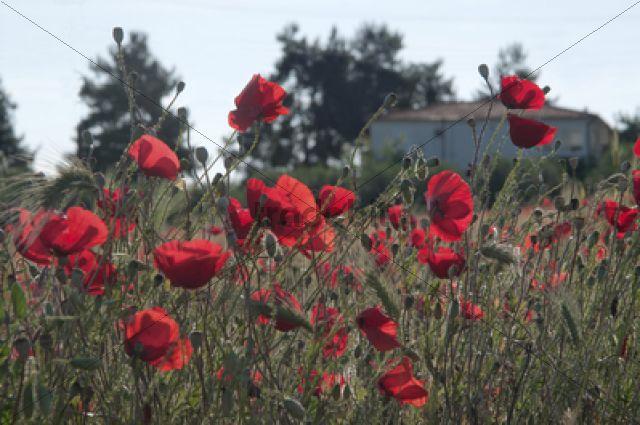 Red Poppies (Papaver rhoeas) on a ruderal area, Makrigialos, Greece, Europe