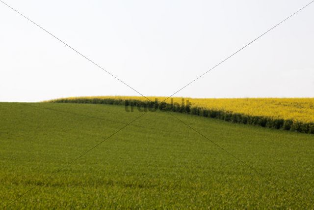 Field of Rape or Canola (Brassica napus)