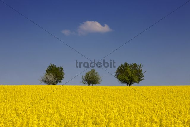 Field of Rape or Canola (Brassica napus) with trees at the rear