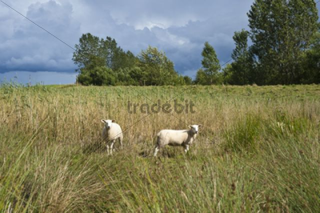 Sheep in the salt marsh nature reserve, Hohwacht Bay, Behrensdorf, Baltic Sea, Schleswig-Holstein, Germany, Europe