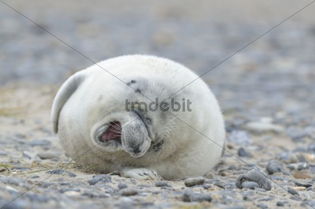 Young Grey Seal (Halichoerus grypus) pup, on the beach / Helgoland Düne, Schleswig-Holstein, Germany, Europe