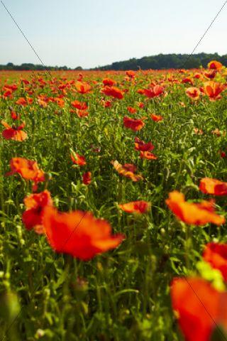Blooming poppy field near Wangen, Starnberg, Upper Bavaria, Bavaria, Germany, Europe
