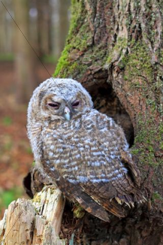 Young Tawny Owl or Brown Owl (Strix aluco) perched in front of a tree hollow /