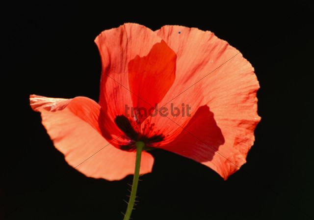 Poppy (Papaver rhoeas), flower, backlighting
