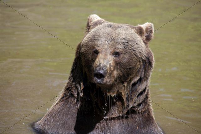 Brown Bear (Ursus arctos), Neuschoenau wildlife enclosure, Bavarian Forest, Bavaria, Germany, Europe, PublicGround