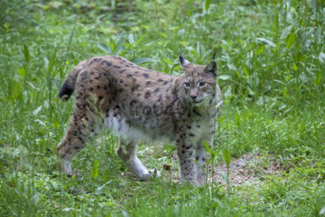 Eurasian Lynx (Lynx lynx), Neuschoenau outdoor animal enclosure, Bavarian Forest, Bavaria, Germany, Europe, PublicGround