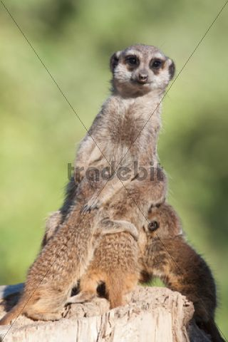 Meerkat or Suricate (Suricata suricatta), female suckling three pups Tierpark Sababurg, Hofgeismar, Hesse, Germany, Europe