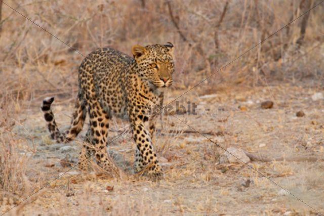 Leopard (Panthera pardus) roaming through its territory Etosha National Park, Namibia, Africa