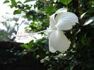 Thumbnail Bangladeshi Flower,White Joba