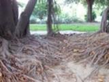 Thumbnail Big roots.